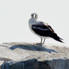 MASKED BOOBY : Dana Point Harbor