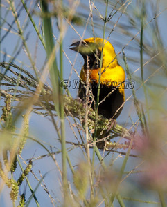 YELLOW-CROWNED BISHOP (record shot only)