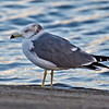 BLACK-TAILED GULL : 3rd record for the State of California. Los Alamitos Bay, Long Beach, CA Map Coord: 33.75693, -118.13078