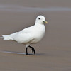 IVORY GULL : 2nd record for the State of California.