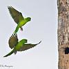 Green Parakeets<br /> Elizabeth St, Brownsville