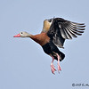 Black-bellied Whistling-Duck<br /> Elizabeth St, Brownsville