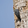Golden-fronted Woodpecker<br /> Elizabeth St, Brownsville