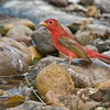 Male Summer Tanager Laguna Atascosa NWR