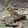 Female Northern Cardinal Laguna Atascosa NWR