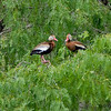 Black-bellied Whistling-Ducks<br /> Estero Llano Grande State Park