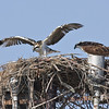 2008 OSPREY NEST - Chula Vista Marina Area : This is the fourth year in a row that I've observed this pair of ospreys building and successfully raising young. This year only one chick hatched. Approximate hatch date is around March 1. The nest is located on an old light standard in the old Rohr Aircraft plant at the foot of H Street in Chula Vista and easily viewable from Marina Parkway north of Sandpiper Way.