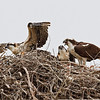 2011 OSPREY NESTS :