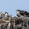 2012 OSPREY NESTS : Various locations - San Diego County.