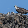 2013 Osprey Nests : Osprey nests at various locations