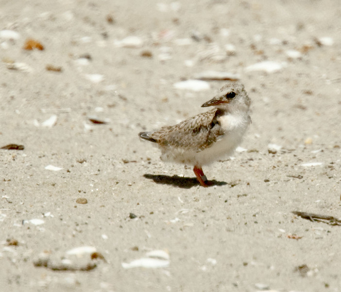 Least Tern chick Least Tern Preserve