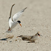 Least Tern chick feeding Least Tern Preserve