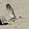 Least Tern chick wing stretch<br /> Least Tern Preserve
