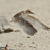 Least Tern chick flight practice Least Tern Preserve