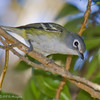 BLUE-HEADED VIREO : Fort Rosecrans National Cemetary