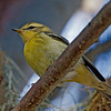 BLACKBURNIAN WARBLER : Various Locations