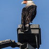 Crested Caracara : This bird was located and photographed on 9-10-06 in the South San Diego community of San Ysidro along Camino De La Plaza between Willow Rd and Virginia Ave within the International Gateway of America shopping mall and adjacent to the US-Mexico border. It goes to the Dairy Mart Pond to roost at night.