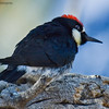 Acorn Woodpecker<br /> Paso Picacho Campground