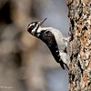 Male Hairy Woodpecker Paso Picacho Campground