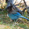Stellar's Jay<br /> Paso Picacho Campground