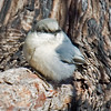 Pygmy Nuthatch Paso Picacho Campground