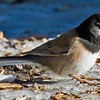 Dark-eyed Junco<br /> Paso Picacho Campground