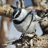 Mountain Chickadee<br /> Paso Picacho Campground