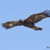 GOLDEN EAGLE - Tijuana River Valley :