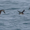 BLACK-VENTED SHEARWATERS