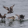 JUVENILE HEERMANN'S GULLS STEALING THE BROWN PELICAN'S FOOD.