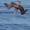 BROWN PELICAN DIVING FOR FOOD.