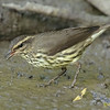NORTHERN WATERTHRUSH : Tijuana River Valley