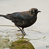 RUSTY BLACKBIRD : Male Rusty Blackbird at Buccaneer Park, Oceanside, CA