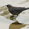 Rusty Blackbird Feb 23, 2009