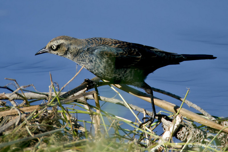 Rusty Blackbird Dec 28, 2008