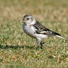SNOW BUNTING : San Diego River at Robb Field, Ocean Beach, CA. This is the 500th bird for San Diego County.