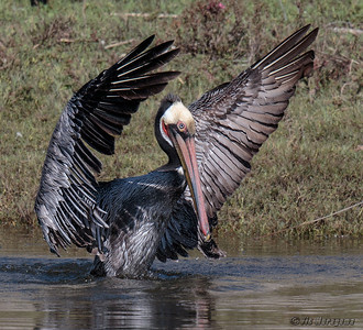 BATHING BROWN PELICAN