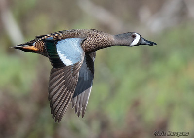 MALE BLUE-WINGED TEAL