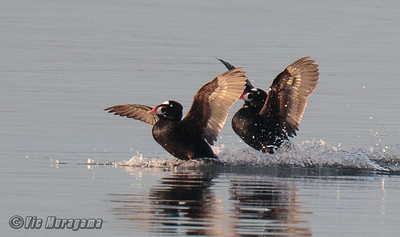 MALE SURF SCOTERS