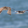 LONG-BILLED CURLEW AND WILLET