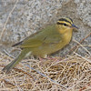 WORM-EATING WARBLER : Found on 10/18/2007 by Ranger Bob Theriault at the Tamarisk Grove Campground on SR-3, Anza-Borrego Desert.
