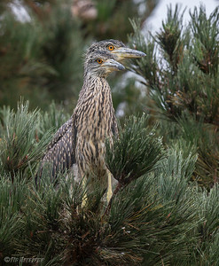 YELLOW-CROWNED NIGHT-HERON hatch year