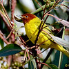 "YELLOW ""MANGROVE"" WARBLER : First San Diego County record. Found by Mark Billings January 13, 2009 in the Midway area on Channel Way and Hancock St."