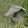 Great Gray Owl<br /> Phantom Lake area
