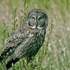 Great Gray Owl Phantom Lake area