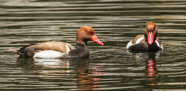 RED-CRESTED POCHARDS