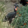 Abyssinian Ground Hornbill, Tomba, a male