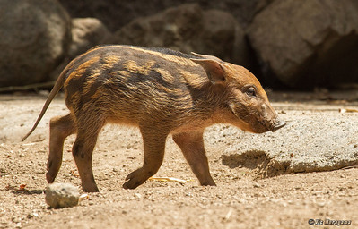 RED RIVER HOG  Piglet