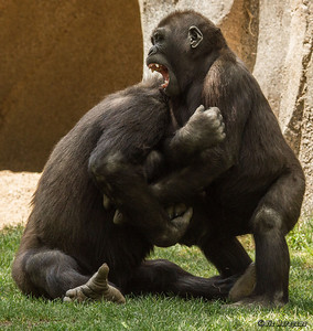 WESTERN GORILLA Frank and Monroe at play.