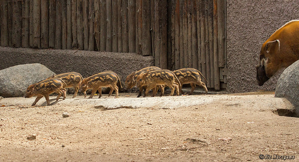 RED RIVER HOG  Six piglets